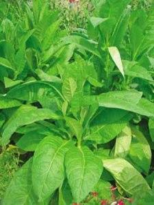 Delgold-Tobacco
